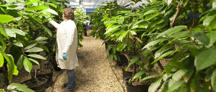 Invernadero del Centro Internacional de Cuarentena del Cacao