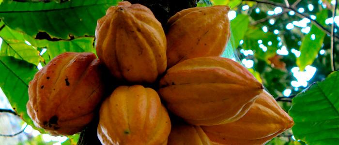 Frutos de cacao en el árbol
