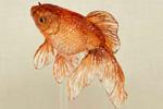pez de caramelo naranja