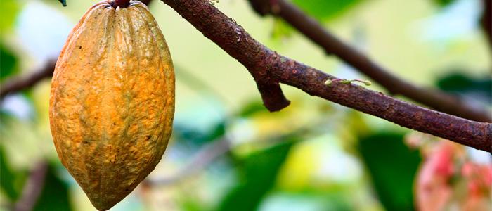 Fruto del cacao colgando de una rama