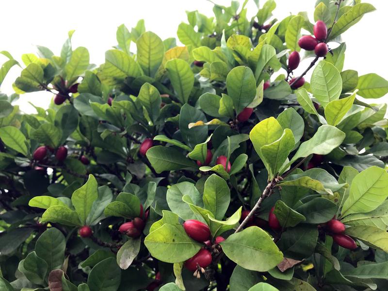 Arbusto con Miracle Berries
