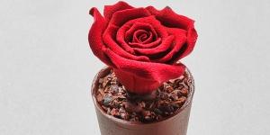 Imagen de Casa Cacao y su rosa comestible con maceta incluida para Sant Jordi
