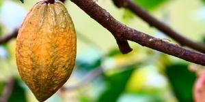 Imagen de Un estudio plantea incentivos para reducir el trabajo infantil en producciones de cacao de Ghana